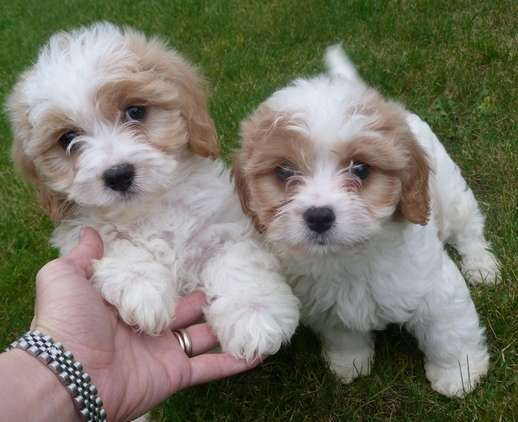 Adonic Cavachon Puppies For Sale Adoption From Quebec Capitale