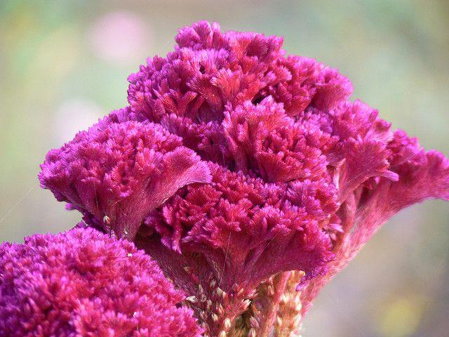 Celosia Argentea Var Cristata Beautiful Flowers Flowers Plants