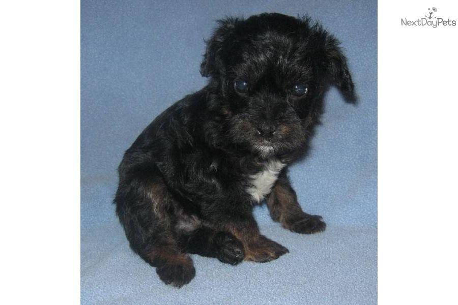 Affenpinscher Puppies For Sale Animals Puppies Puppies For Sale