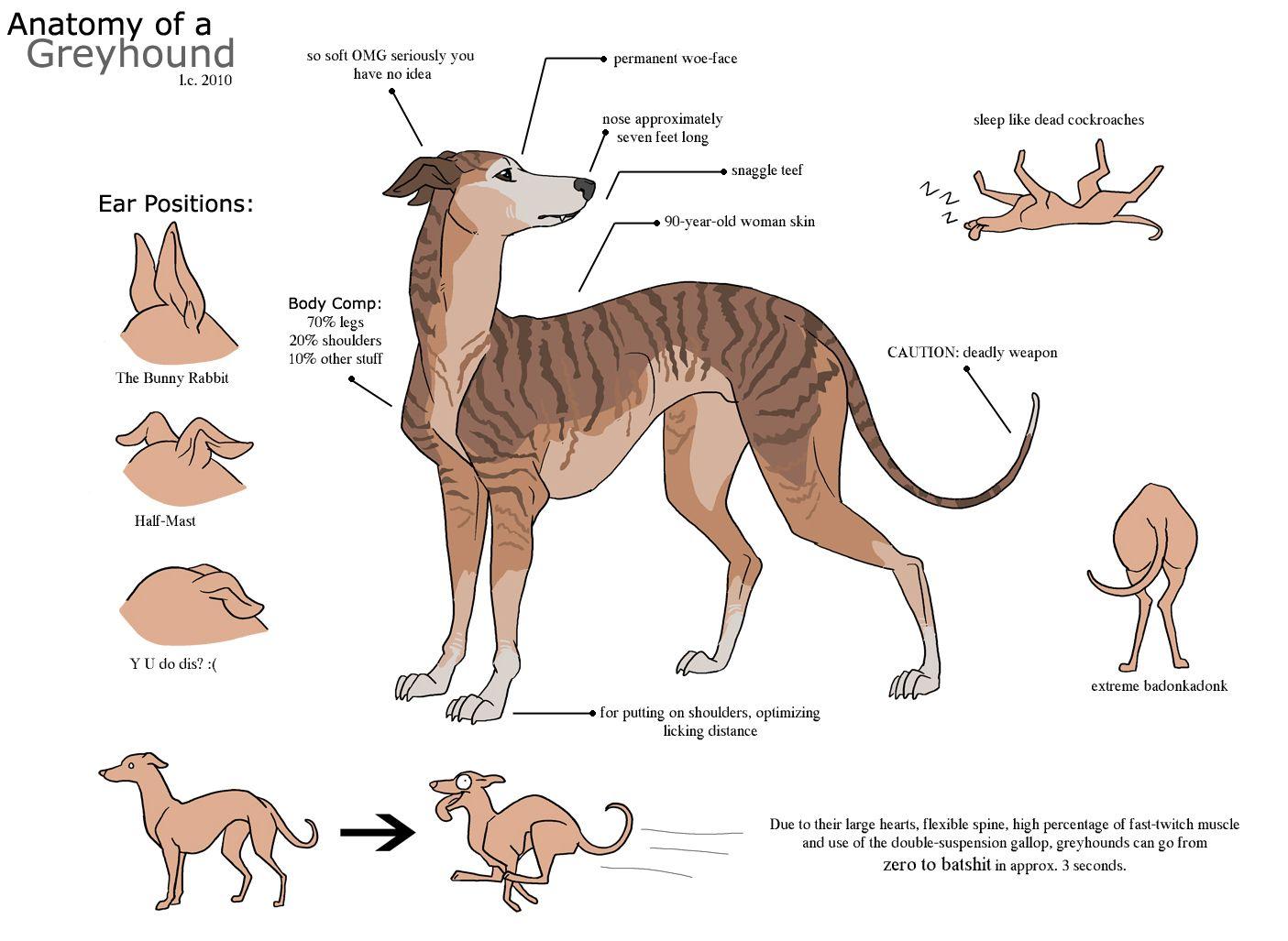 Anatomy Of A Silly Greyhound Galgo Perros Mascotas