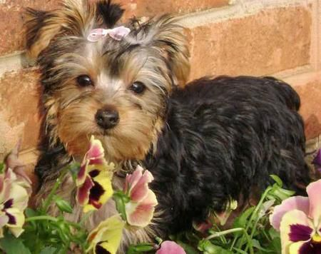 Yorkshire terrier club london