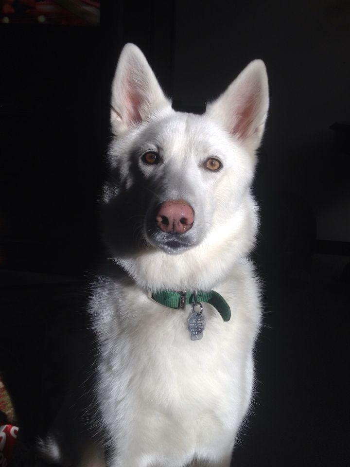 White German Shepherd Husky Mix Had One Green Eye German