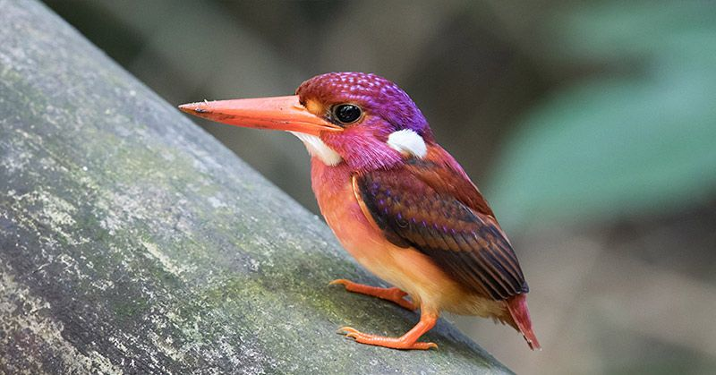 Extremely Rare Dwarf Kingfisher Fledgling Photographed for