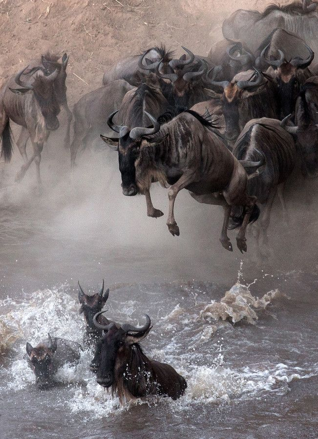 A large migration of Wildebeest by Sergey Agapov