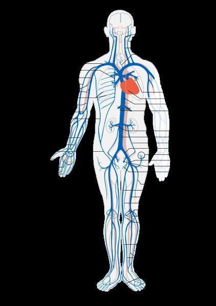Sistema venoso   Medicina   Pinterest   Anatomía, Medicina y Radiología