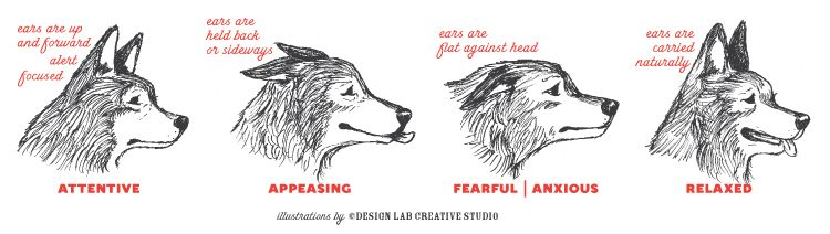 Pay Attention To The Ears Animal Health Amp Body Language