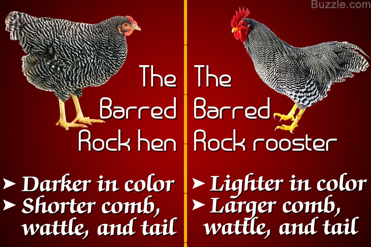 Although Barred Rock Roosters And Hens Look Similar There Are A Lot Many Distinctions We Ll Discuss The Barred Rock Rooster Barred Rock Chickens Barred Rocks