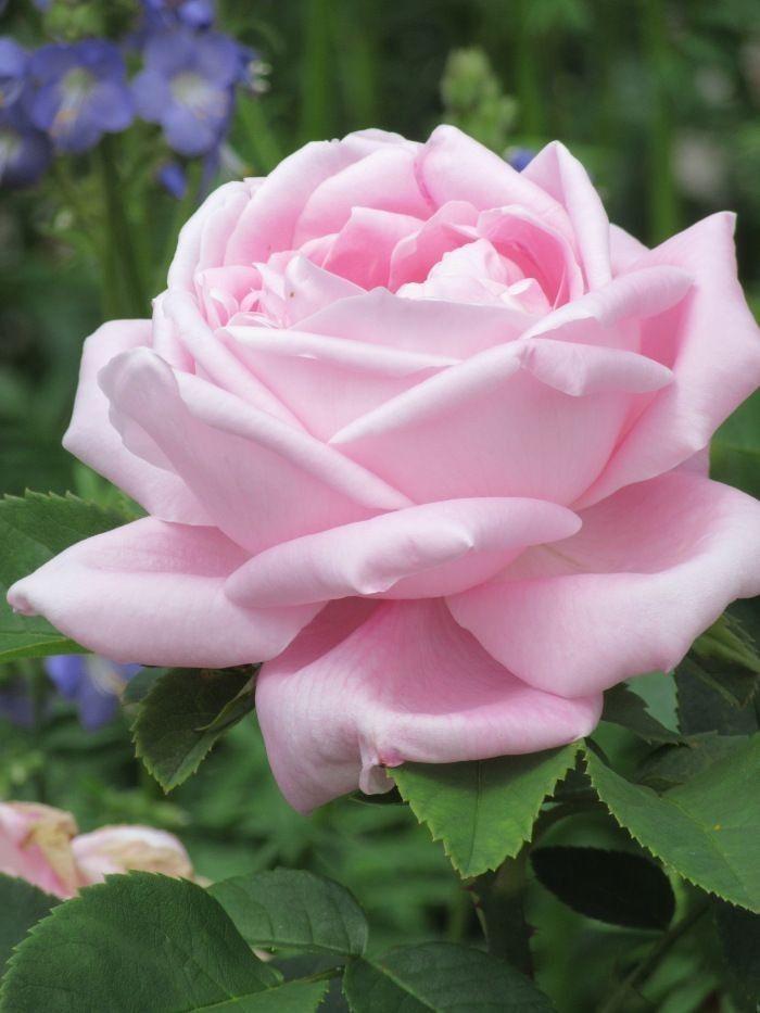 pin von angelika stottan auf rosen garten pinterest rose ideen f r den garten und blumen. Black Bedroom Furniture Sets. Home Design Ideas