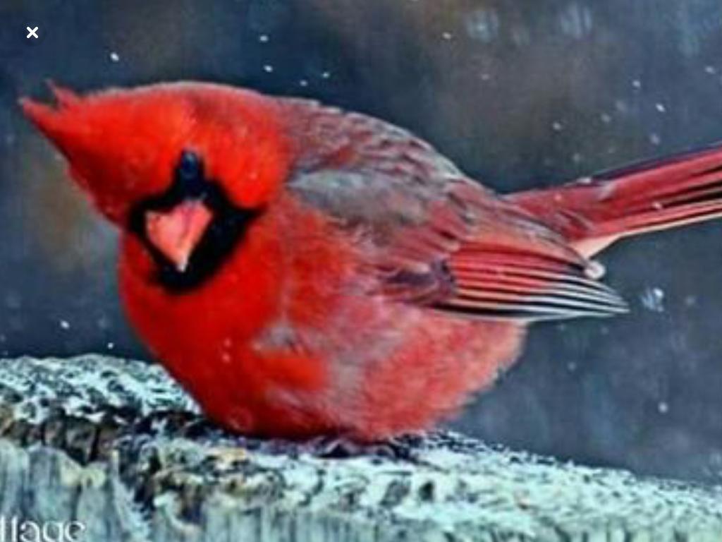 Pretty Little Cardinal Backyard Birds Bird Pictures How To Attract Birds