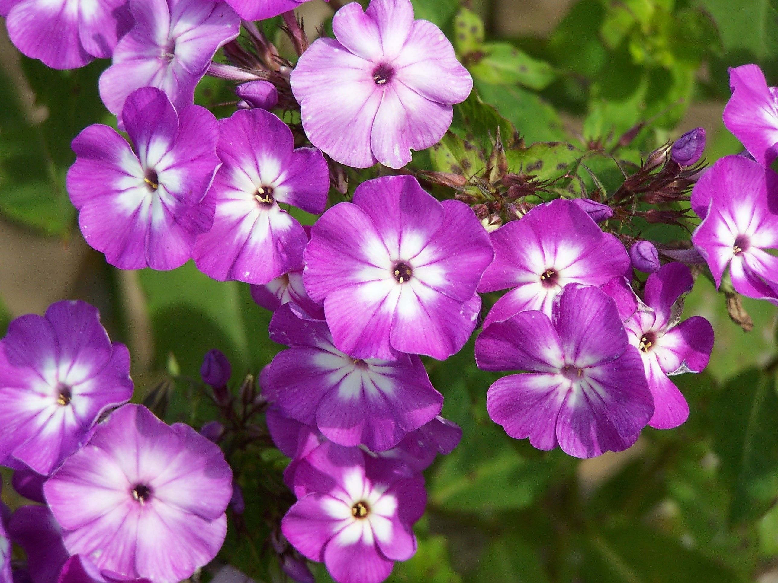 phlox u0027widar u0027 4 5 u0027 tall a dramatic color combination of violet
