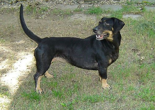 Dachshund Mix With Rottweiler Dog Mixes Weiner Dog Rottweiler Mix