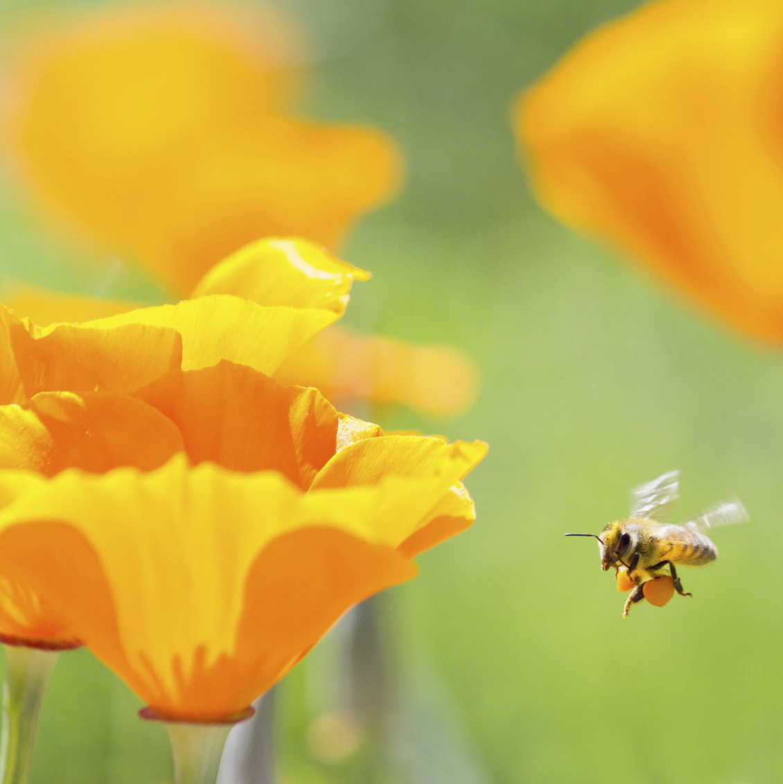 An introduction to the 4,000 kinds of bees in the U.S. and