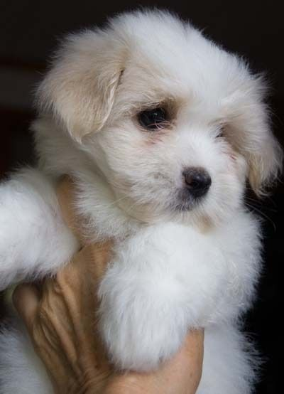 Another Coton de Tulear #puppy...I love them and shall have one someday soon.