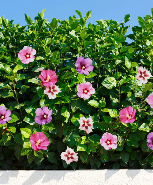 Hibiscus Flowers Which Come In An Enormous Range Of Bright Beautiful Colors Attract Both Bees And Butterf In 2020 Hibiscus Plant Hibiscus Shrub Plant Flower Bulbs