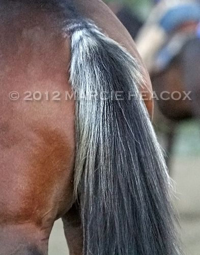 Skunk Tail Horse Rabicano Pinterest Horses Thoroughbred Horse