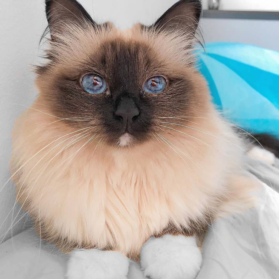 Blue Eyes Cat Kittens Cutest Cats Cat Empire