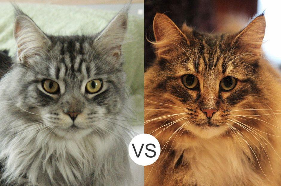 Maine Coon vs. Norwegian Forest Cat Amazing animals