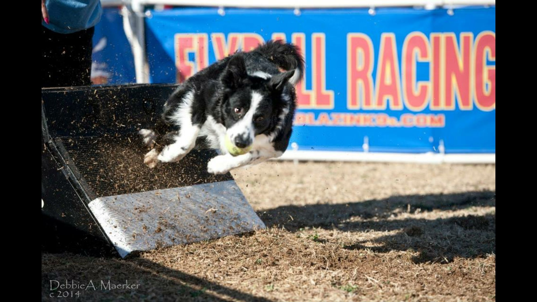 Rumor Is A 4 Year Old Border Collie That Runs With Crazy Train