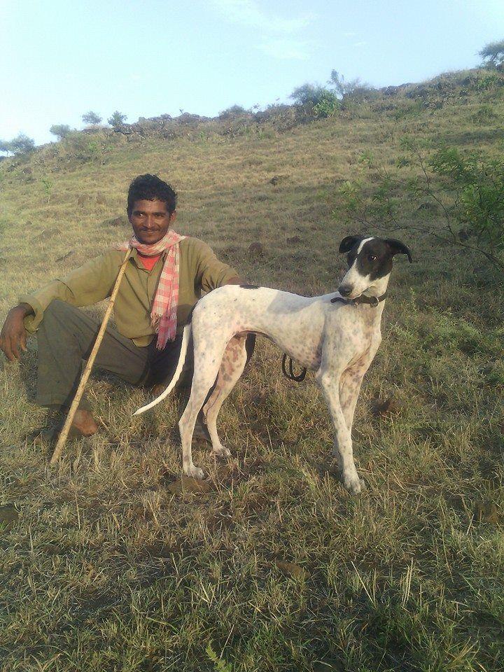 Alaknoori Hound Hound Dogs Animals