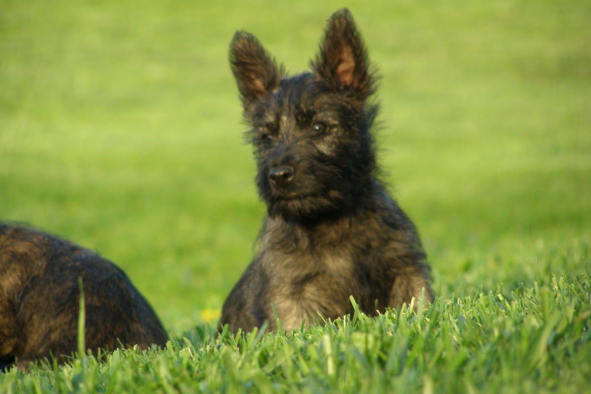Adorable Bushland Terrier Pups Cairn Scottie Cross In Sidney