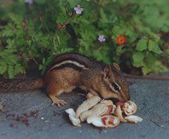 a local chipmunk