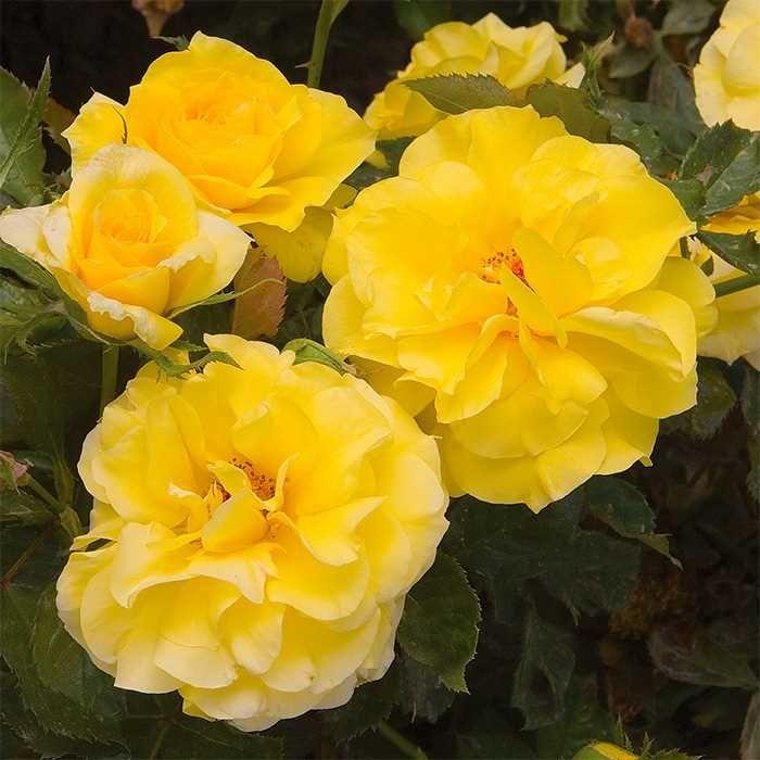 Sunsprite Floribunda Rose 3ft Wide 3 Ft Tall Rose Shrub Roses Flowers