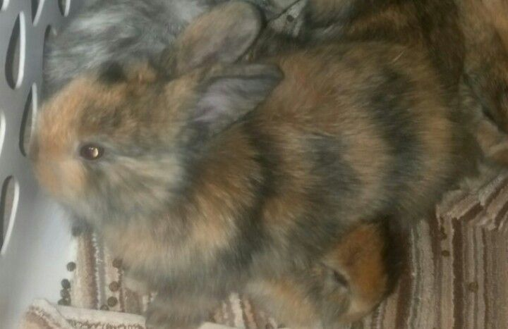 My first litter of bunnies came out with stripes! 4 brown and black (above), 2 black and white, and 1 solid brown one!