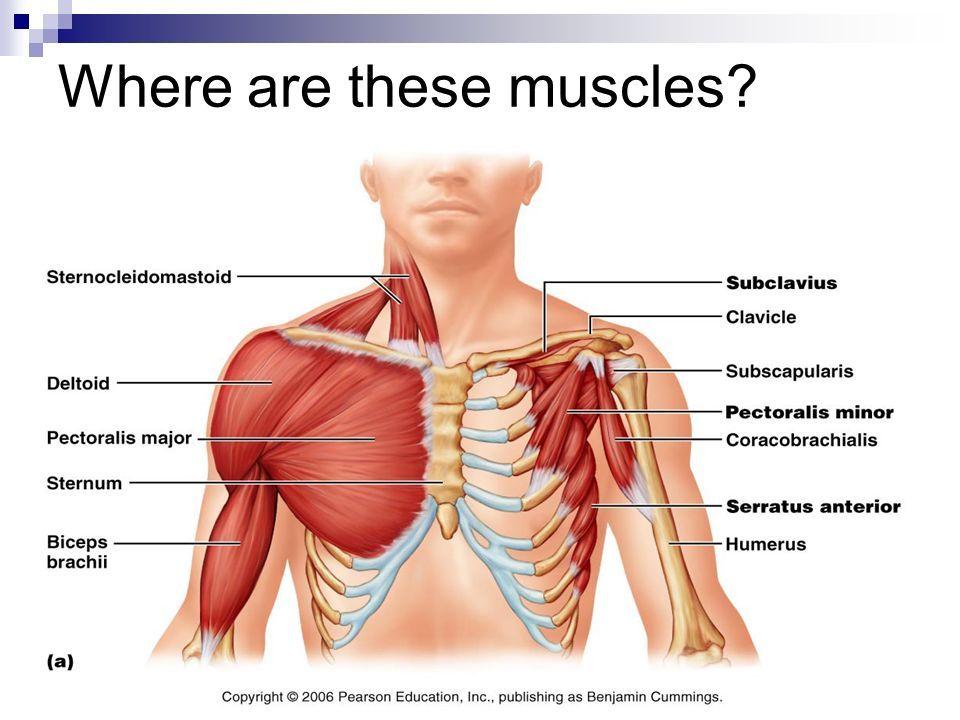 Image Result For Serratus Anterior Location Muscles Pinterest