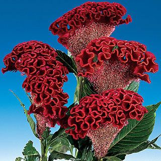 Cockscomb Bombay Dark Red A crested Celosia Cockscomb with