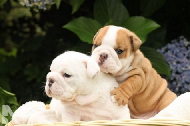 English Bulldog Puppies For Sale In Nc Zoe Fans Blog English
