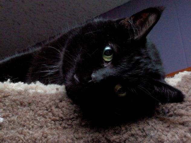 Adopt La Manita On Cat Adoption Cats Adoption