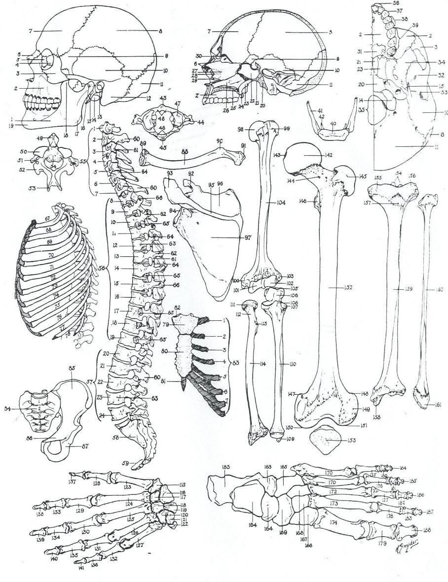 Human Anatomy Coloring Pages Coloring Book Human Anatomy Coloring Sheetsintable Pages Anatomy Coloring Book Skull Coloring Pages Animal Coloring Books [ 1181 x 908 Pixel ]