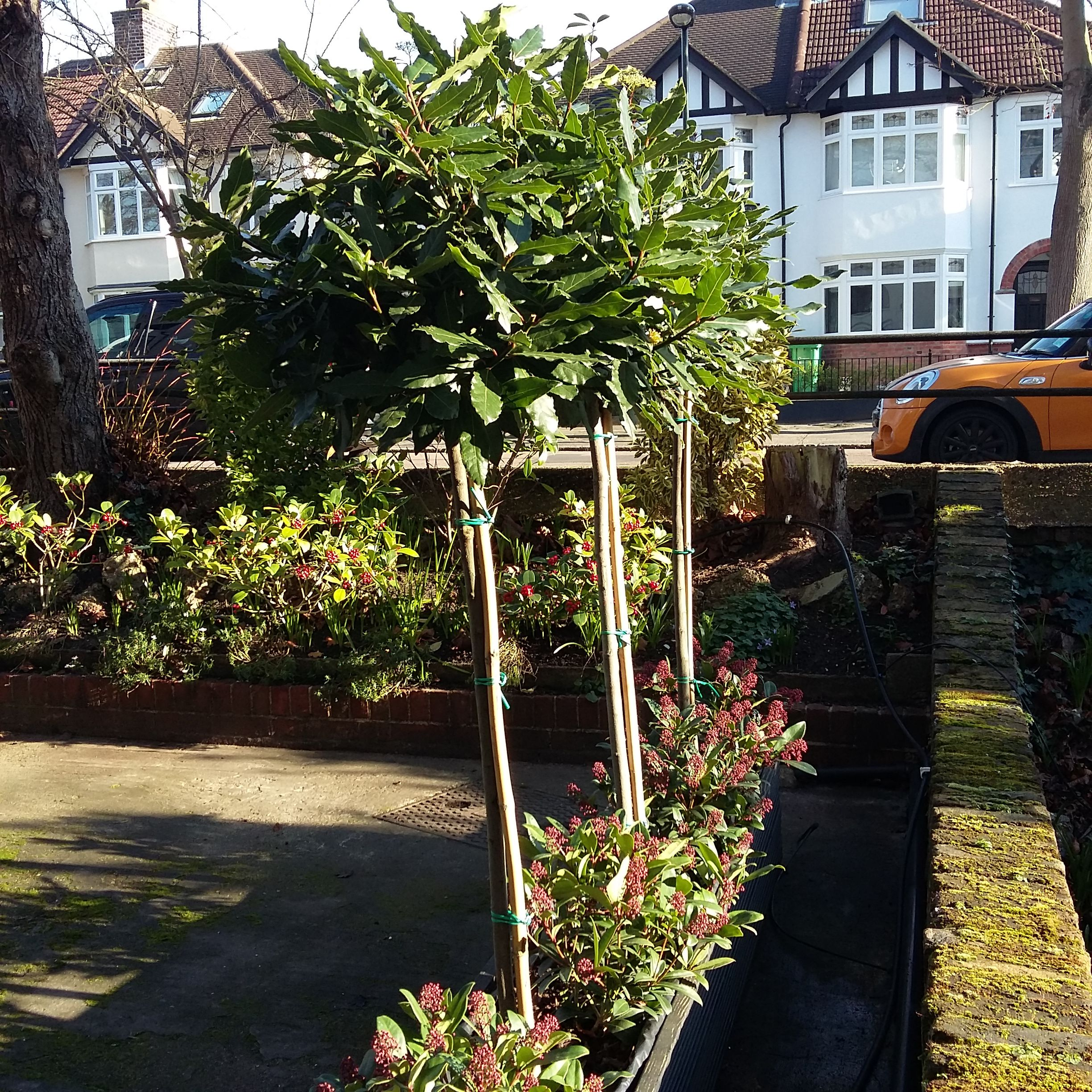 Laurus nobilis underplanted with Skimmia japonica 'Rubella' in containers at front of block