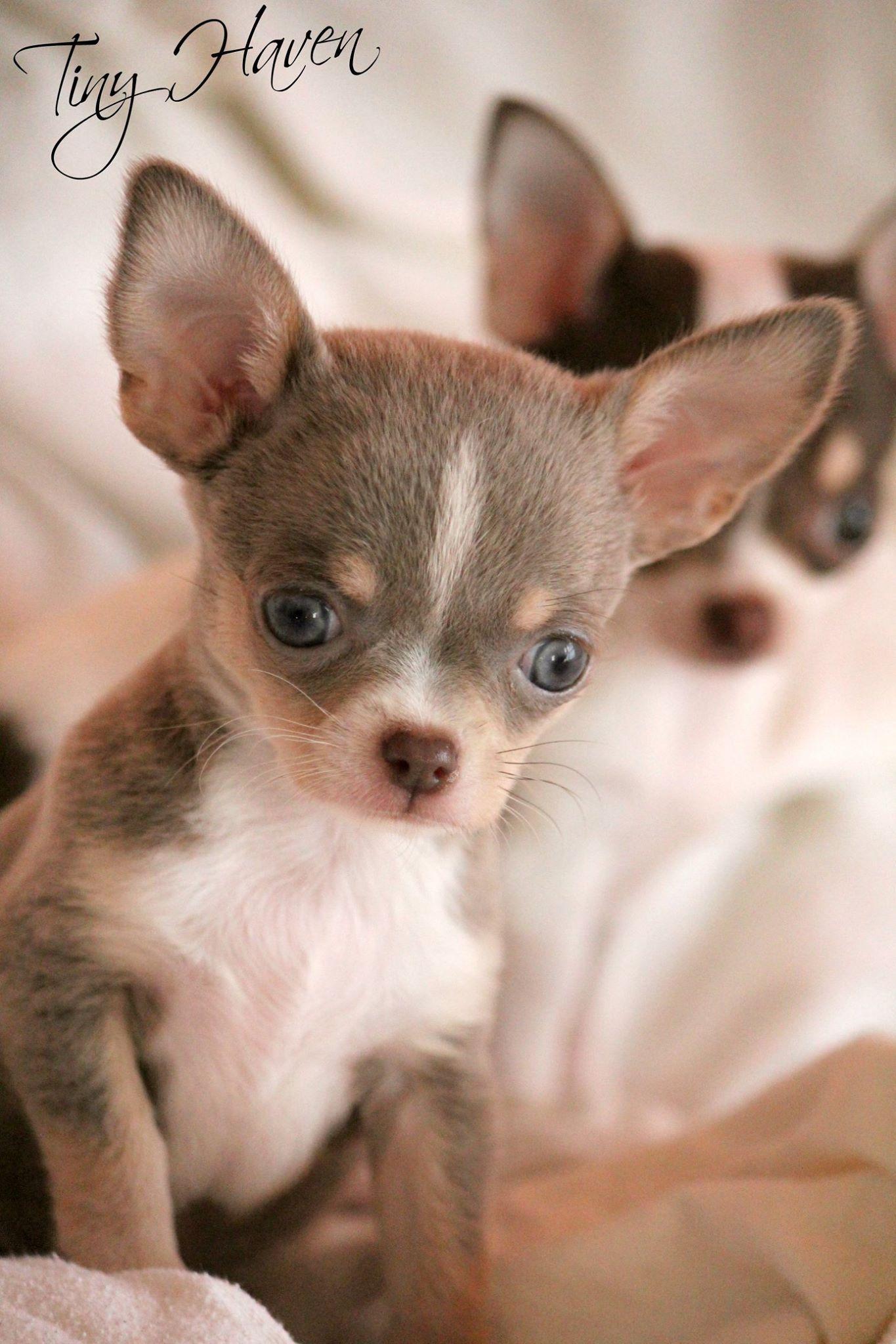Pin By Karin Aus Wien On Chihuahua Chihuahua Puppies Chihuahua Cute Chihuahua