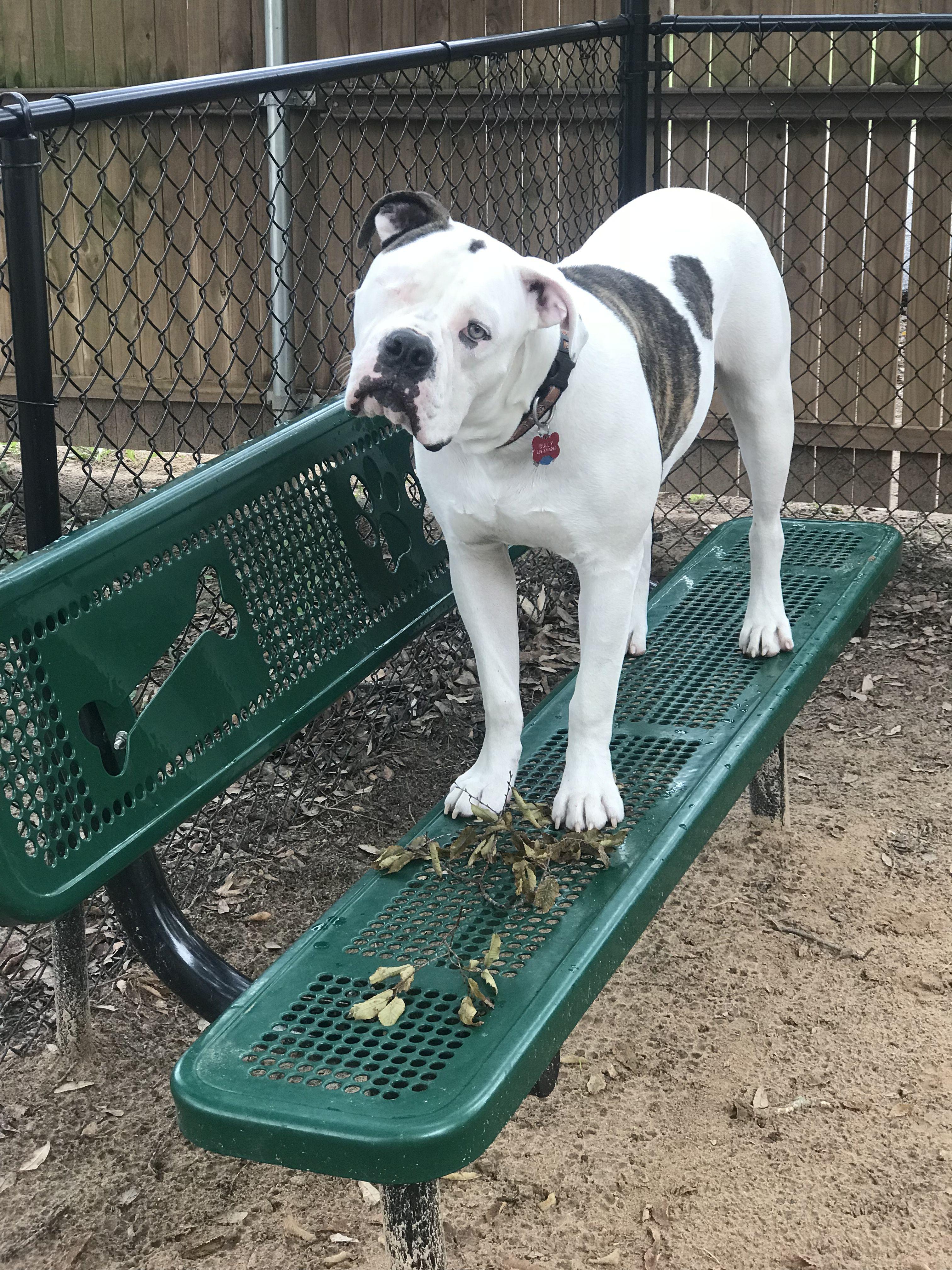 So Precious American Bulldog Bully Dog