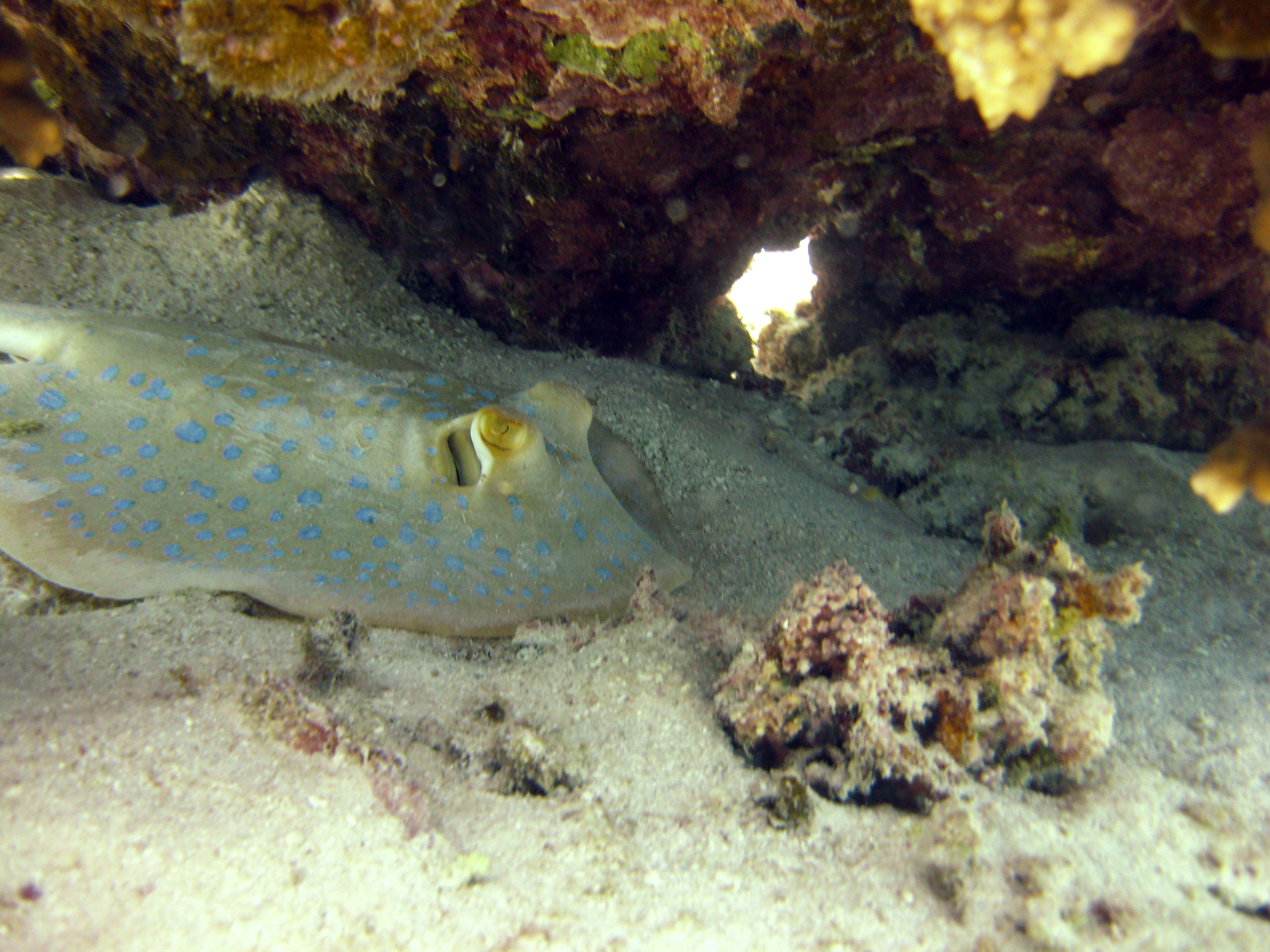 Blue Spotted Stingray Taeniura Lymma