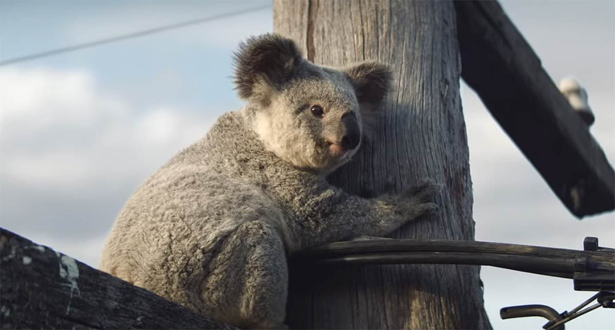 Nrma Insurance Launches Koala Bear Conservation Campaign In