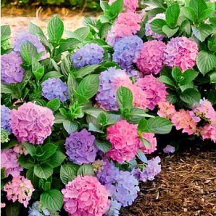 hortensien richtig schneiden gardens hydrangea and garten. Black Bedroom Furniture Sets. Home Design Ideas