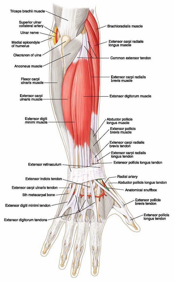 Ovid: Lippincott Williams & Wilkins Atlas of Anatomy   Krops diagram ...