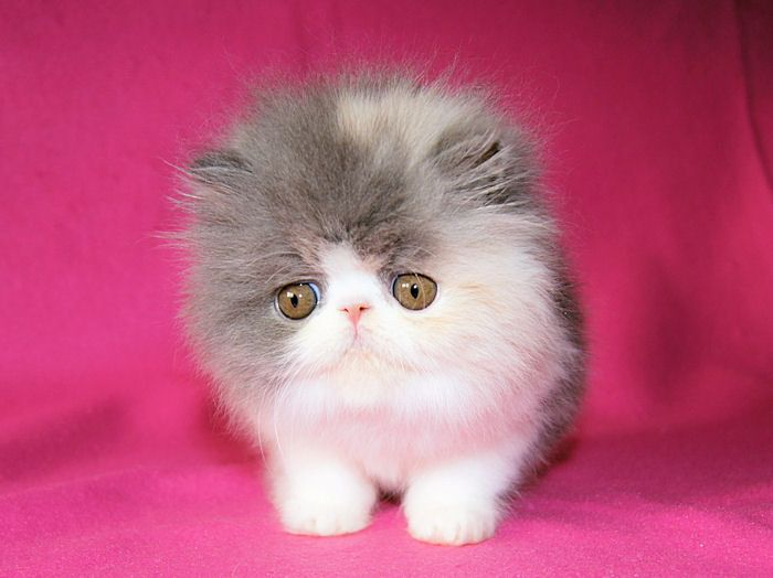 Alfenloch Persian Kittens Ontario Canada And Himalayan Kittens Ontario Persian Kittens Persian Cat Persian Cat White