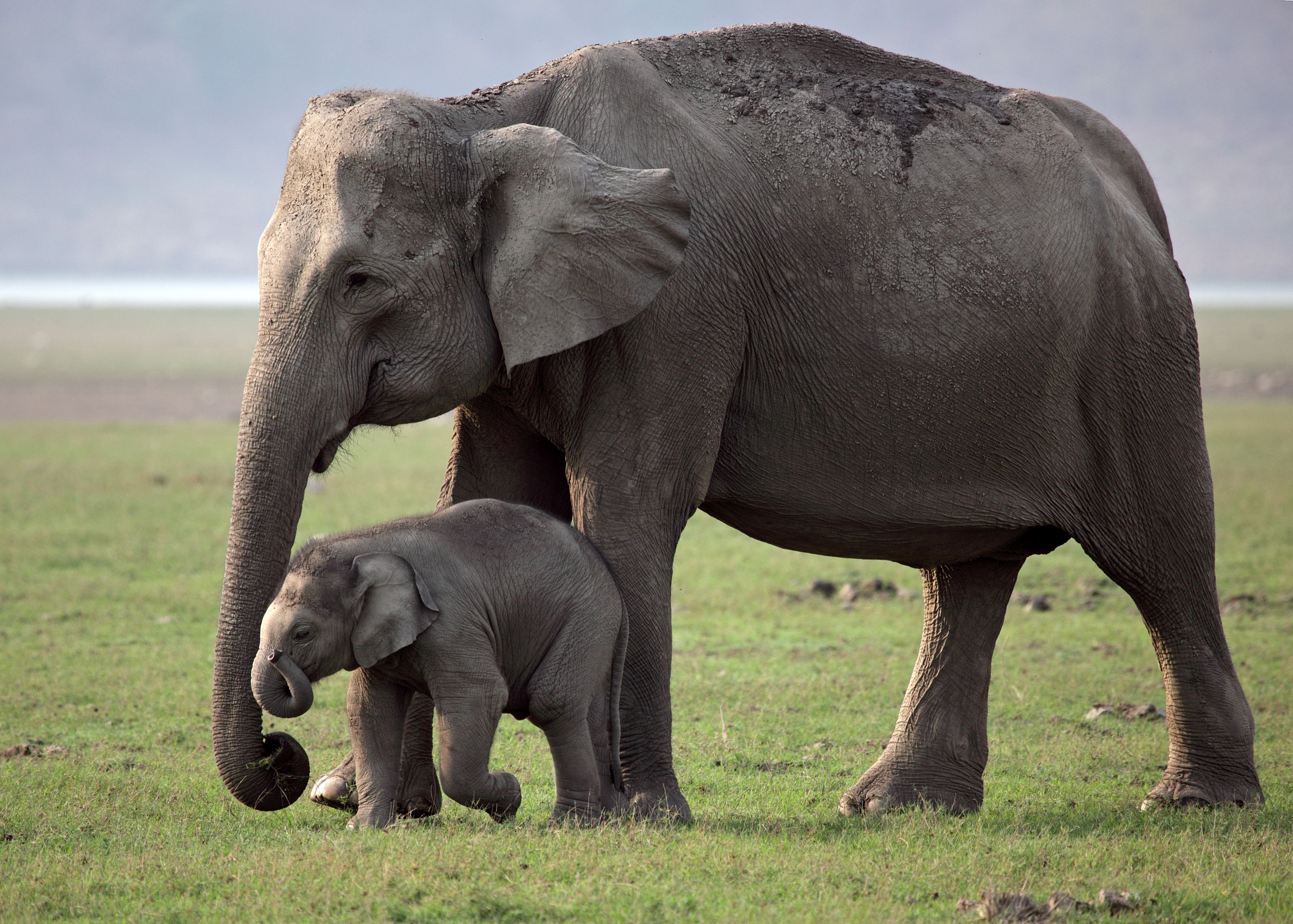 Elephants Animal Animals Calf: Asian Elephant Mother And Calf.