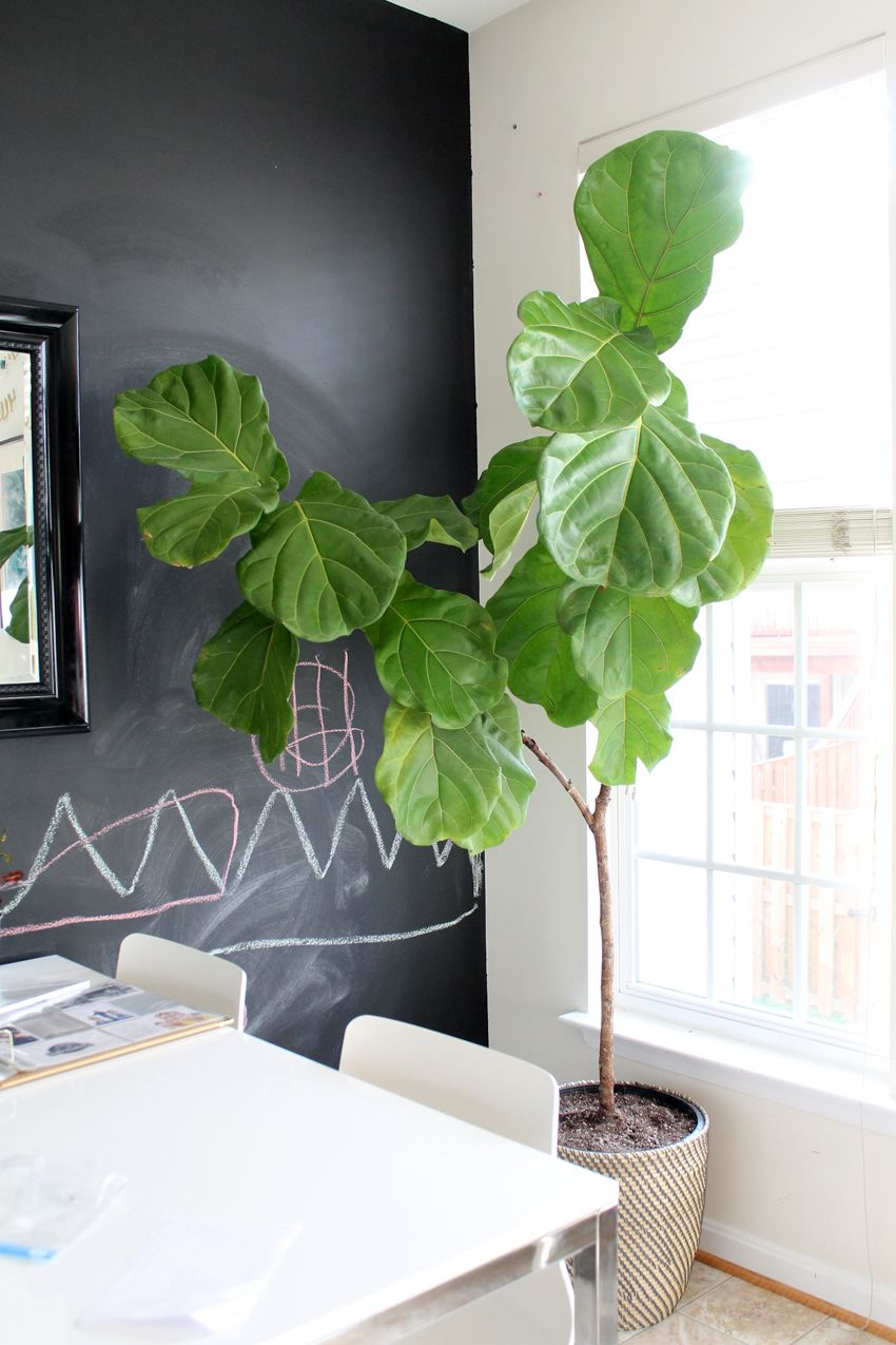 How to repot your droopy, browning fiddle leaf fig via www ...