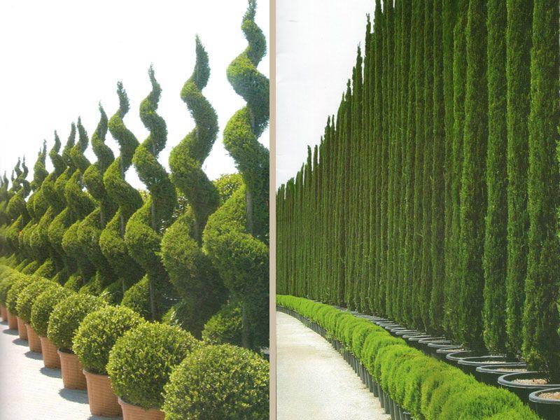 Italian Cypress Trees Decoration Jpg 800 600 Italian Cypress Trees Backyard Garden Design Privacy Landscaping