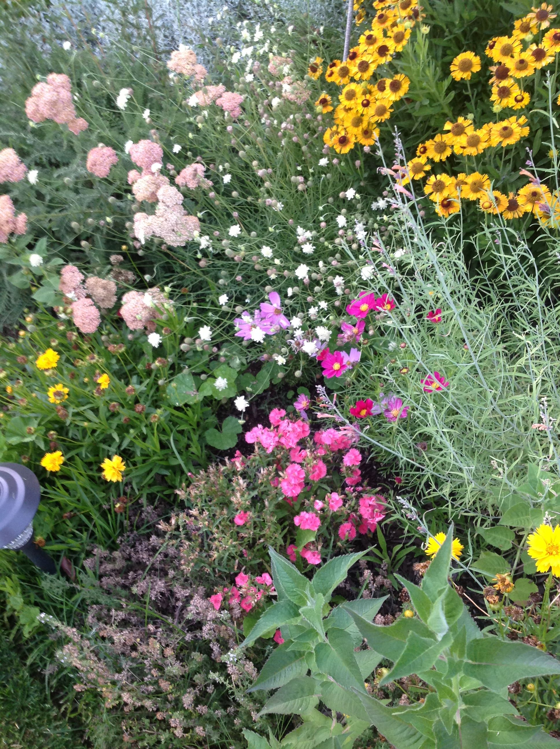 Dianthus Cosmos Yarrow White Pincushion Coreopsis And Agastache