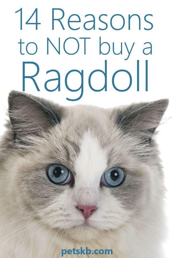 Reasons Not To Get a Ragdoll Cat in 2020 Ragdoll cat