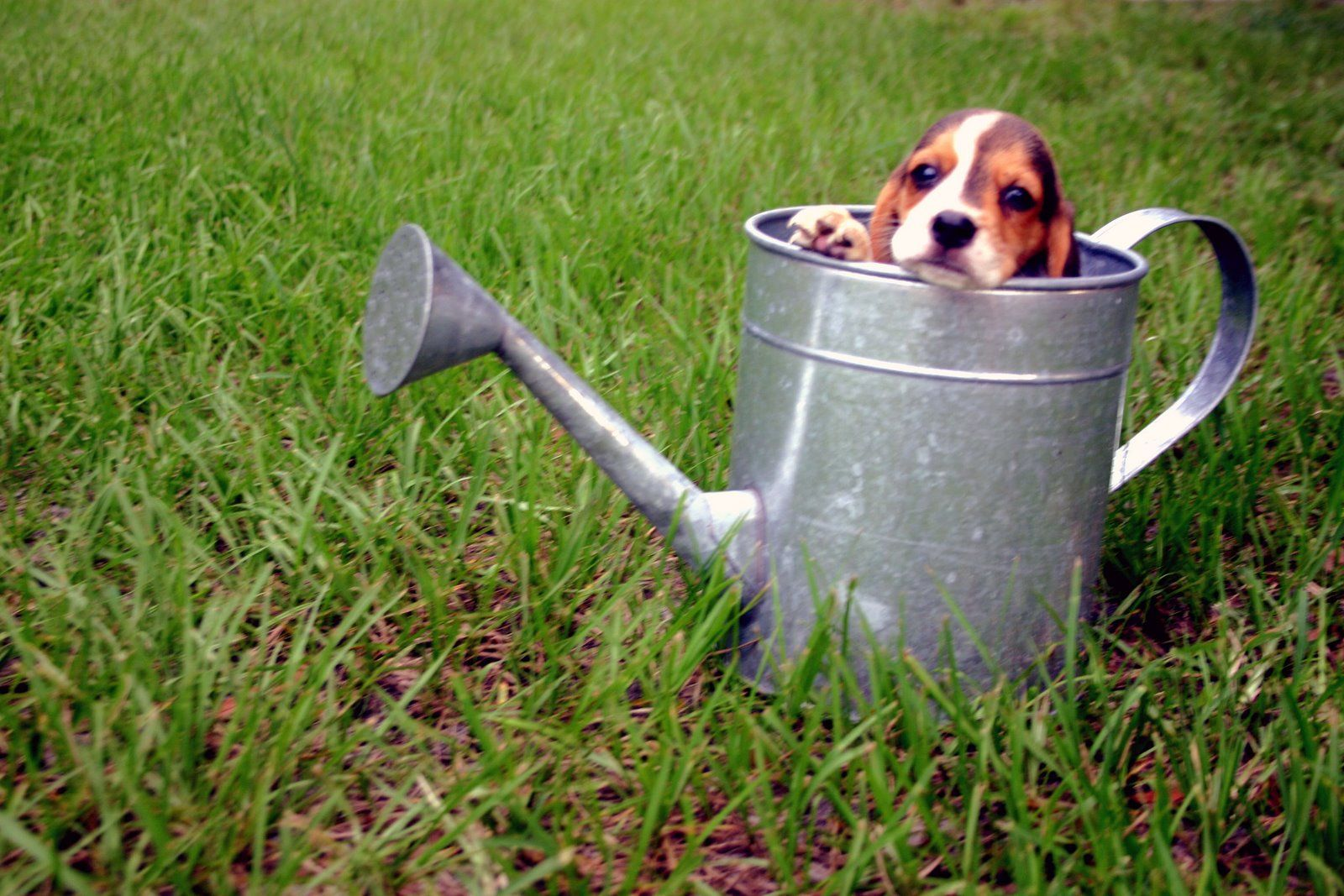 What Shall We Water Next Beagle Puppy Beagle Puppies