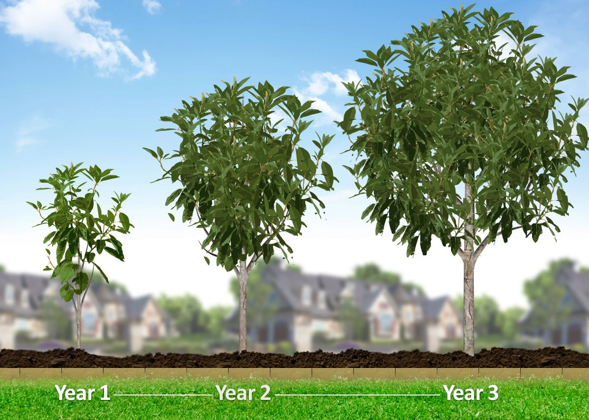 American elm tree elm tree fast growing and growing tree for Best small shade trees