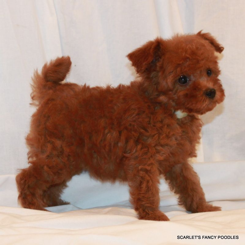 Red Toy Poodle Full Grown Sheba's Male chip # 28...