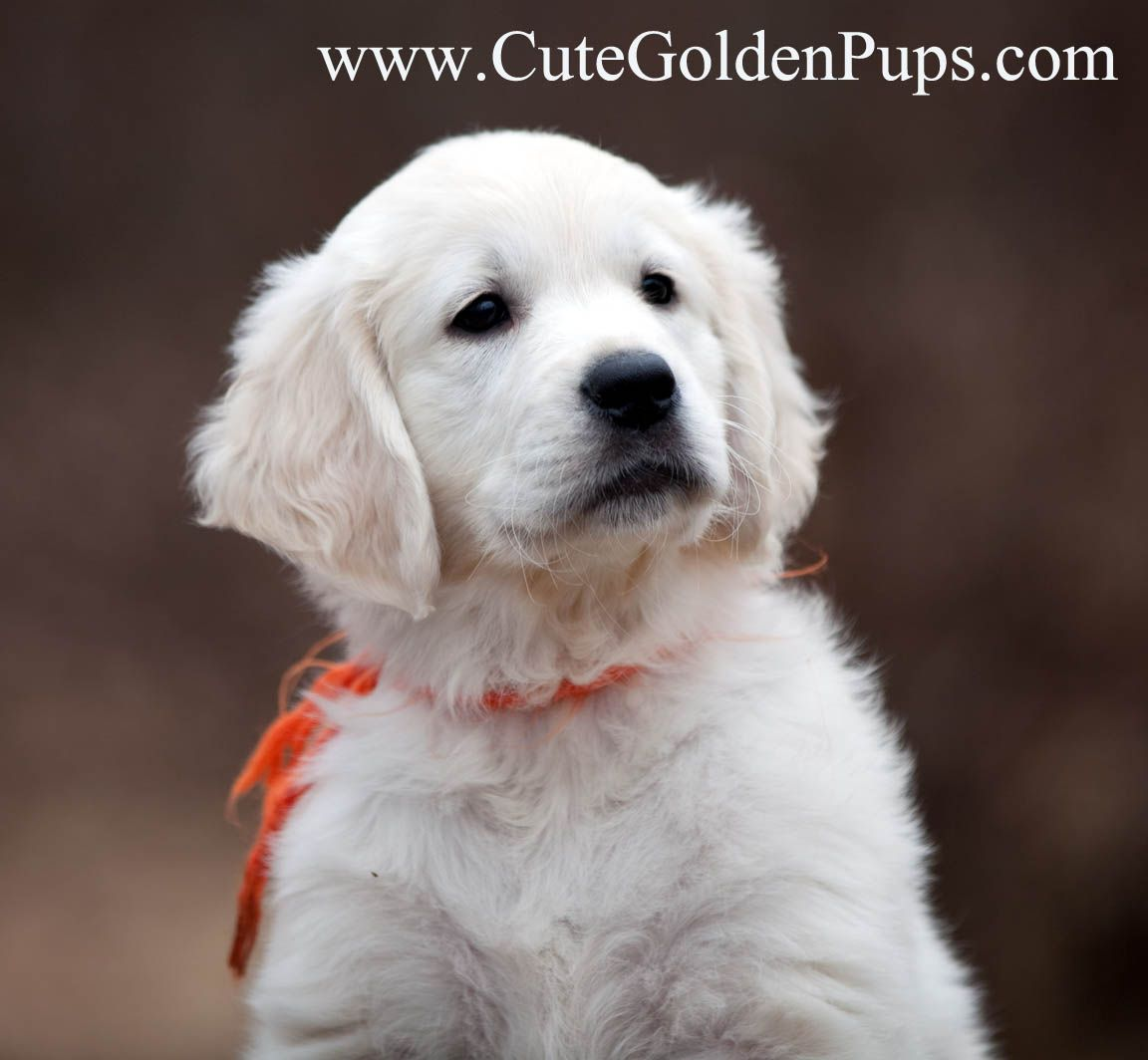 English Cream Golden Retrievers Nj Ca Tx Fl Ct Ma Ri Pa Az Best