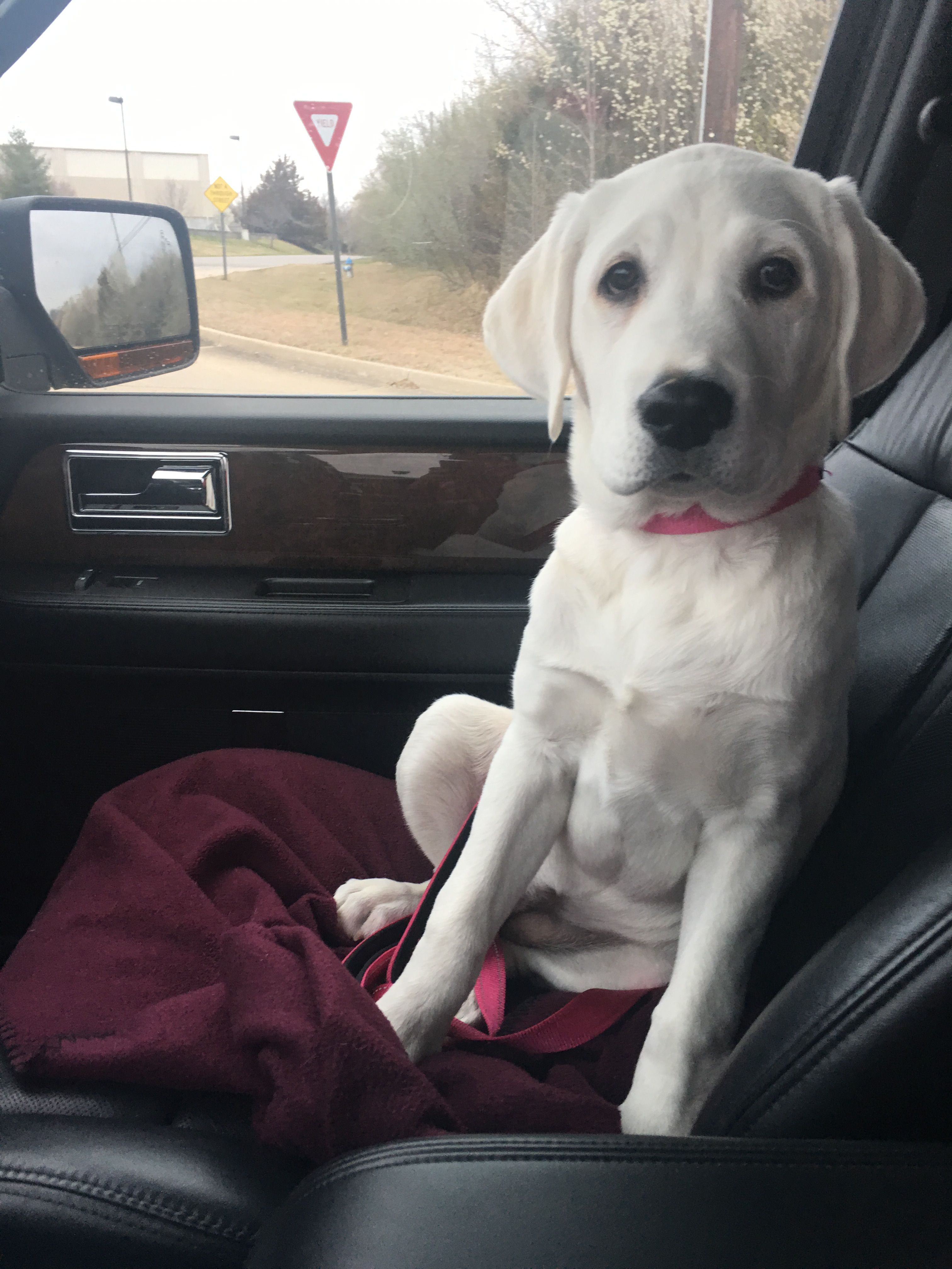 Yellow lab puppies for sale colorado